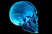 An inferior, posterolateral view (right side) of the brain relative to the skull. Royalty Free