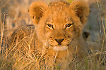 Portrait of an African Lion cub, Botswana