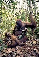 Orangutan, pongo pigmaeus - Female and juvenille on the floor of a virgin rainforest, orangutans, apes. South-Central Kalimantan Borneo Indonesia Rainforest.