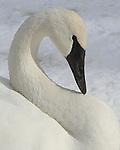 Swan portrait, MN swans, Monticello