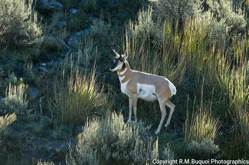 Pronghorn Antelope