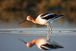 An American Avocet is reflected in shallow water in early morning