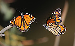 The monarch butterflies at Ardenwood Historic Farm in Fremont, CA.