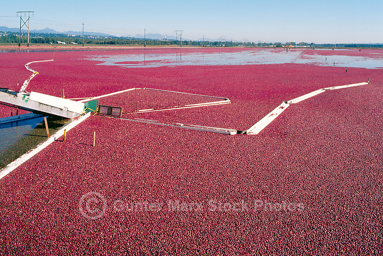 Richmond, BC, British Columbia, Canada - Harvesting Cranberries (Vaccinium macrocarpon) with Bog Boom in Flooded Field on Cranberry Farm