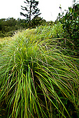 Kawelu, a native Hawaiian grass, grows near the Pali Lookout on O'ahu.