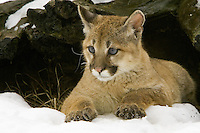 Puma kitten lying under the shelter of an old tree stump - CA