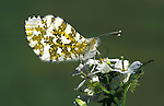 Orange Tip Butterfly, Anthocharis cardamines, adult, female, wings closed showing underside, probiscus feeding on flower.United Kingdom....