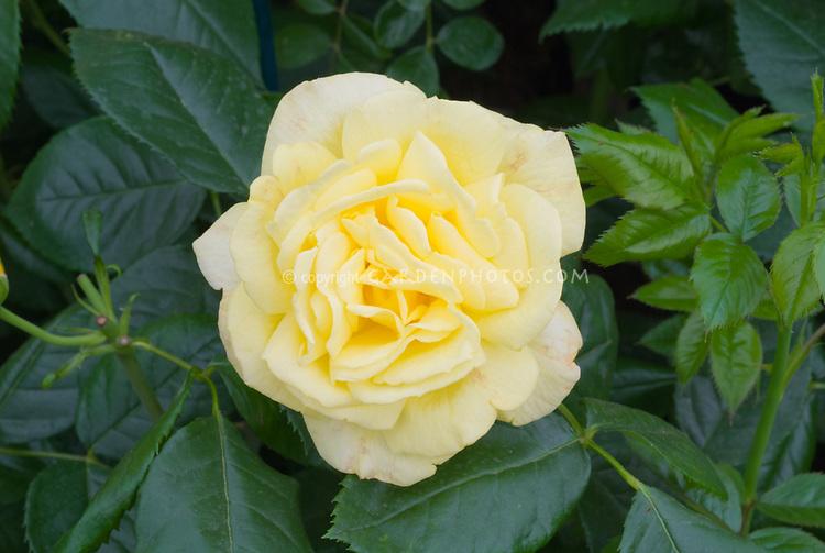 Rosa 'Chinatown' yellow rose
