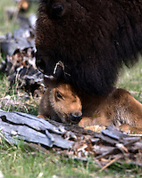 Bison (Bison bison) calves are born in early May in Yellowstone. The bond between mother (cow) and calf is very strong and is quite obvious the moment the calf is born and mom begins to lick it dry.