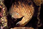 San Clemente Island, California; California Moray Eel (Gymnothorax mordax) , Copyright © Matthew Meier, matthewmeierphoto.com All Rights Reserved