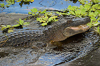 A highly aggressive alligator lunges in a lake in Bradenton, Florida. Still slightly lean, this 8-9 foot alligator is big enough to be dangerous and will start packing on the bulk the really big gators are known for.