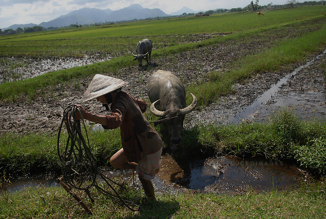 A woman tends to her water buffalo in Ho Chi Minh City, Vietnam...Kevin German / LUCEO
