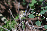 Western Flycatcher