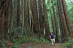 Man hiking in the coast redwoods in the Forest of Nisene Marks State Park