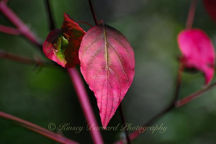 &quot;ELEGANT ELM&quot;<br /> <br /> Burgundy elm leaf in autumn.