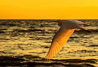 Fine Art Print Photograph of a Snowy Egret, Flying during an evening sunset. Photograph captured in Puerto Vallarta, Mexico.