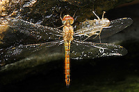 Newly emerged Wandering Glider Dragonfly, at ponds edge in the rain.