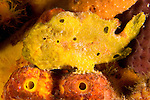 Diving Bonaire, Netherland Antilles -- A yellow longlure frogfish sits very still, resting on orange cup corals and sponges attached to the pilings under Kralendijk pier.  (Night dive at Kralendijk Pier).