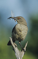 Curve-billed Thrasher (Toxostoma curvirostre), adult with praying mantis prey, Starr County, Rio Grande Valley, Texas, USA
