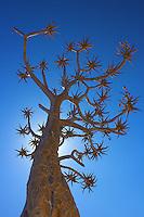 Quiver Tree at Fish River Canyon, Namibia