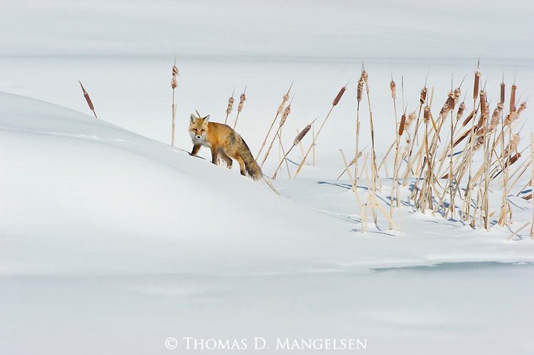 A red fox walks through the deep snow near a cattail-edged pond in Northwest Wyoming.