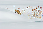 A red fox walks through the deep snow near a cattail-edged pond in Northwest Wyoming.