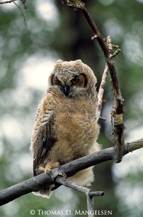 Great Horned Owl fledgling perched on a dead branch.