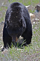 Big Black Bear, Yellowstone National Park