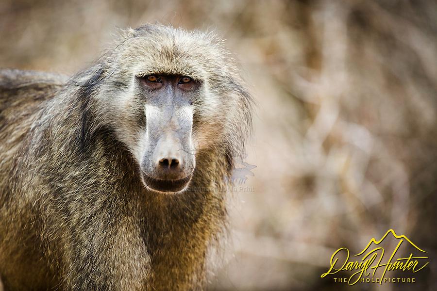 Male Baboon Portrait, Kruger National Park
