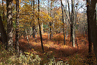 Barberry colonizing Pennsylvania woods, in autumn (Berberis)