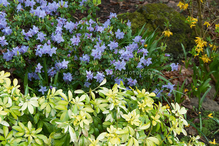 Rhododendron blue flowers, forsythia in spring bloom with Choisya shrub garden scene plant combination