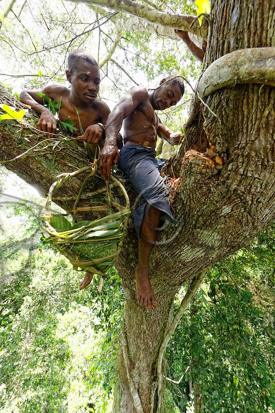 On a giant mahogany tree, the honey-hunters work at the harvest as a team. One takes care of the nest while the other lowers the honey. <br /> In August and September, when the honey is very abundant, the &ldquo;Douma&rdquo;, honey wine, is made.///Sur un acajou g&eacute;ant, les chasseurs travaillent ensemble &agrave; la r&eacute;colte. L&rsquo;un s&rsquo;occupe du nid pendant que le second descend le miel.<br /> C&rsquo;est en aout et en septembre quand le mile est tr&egrave;s abondant que le &laquo;&nbsp;Douma&nbsp;&raquo;, le vin de miel est fabriqu&eacute;.
