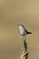598030022 a wild bewick's wren thryomanes bewickii  perches on a twig in kern county california united states