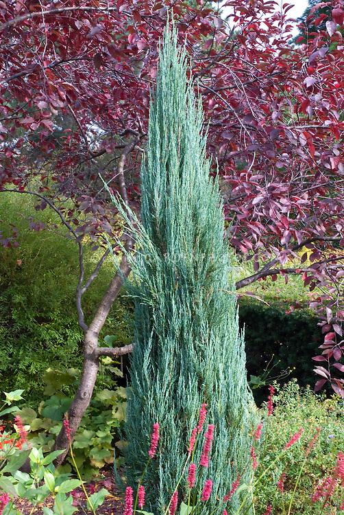 Juniperus virginiana 'Blue Arrow' in garden