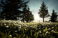 Field of clovers surrounded by the silhouettes of several pine trees in Borgarfj&ouml;r&eth;ur, West Iceland by sunset on a July night.