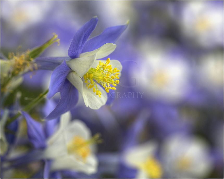 The Colorado Columbine is the state wildflower of Colorado. It blooms in the early summer and can fill meadows with is wonderful shades of blue. Its arrival heralds the warmth of the season and bids farewell to the snows of winter and spring.