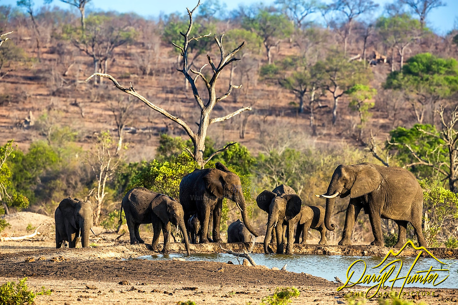 Elephant herd at the water hole in Sabi Sands Game Reserve near Kruger National Park, South Africa.