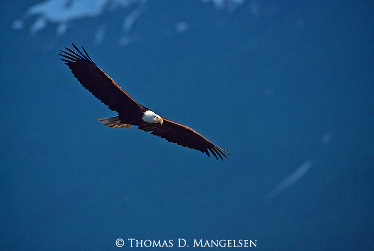 Evening portrait of bald eagle in flight in Southeast Alaska.