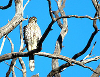 Courtesy photo/PHYLLIS KANE<br /> A juvenile red-shouldered hawk roosts on a limb in Fayetteville. Phyllis Kane of Fayetteville took the picture Feb. 17 at Woolsey Wet Prairie Sanctuary.