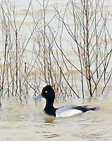 Lesser scaup drake, Bald Knob National Wildlife Refuge, Arkansas.