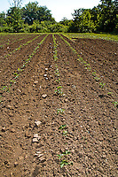 Rows of newly planted organic strawberries.