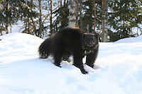 A wolverine (Gulo gulo) at Namsskogan Familiepark in Norway. The male has his own space in the woods of 8.400 m2.