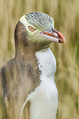 Yellow-eyed Penguin Pictures - Photos