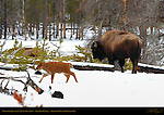 Bison Female and Calf in the Snow, Tangled Creek, Yellowstone National Park, Wyoming
