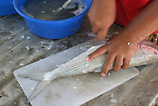 Temoaiti Tekiata removes the scales from a fish, in Tenoraereke village, on the island of Kiribati in the South Pacific. The islands, and their way of life, are endangered by rising sea water levels which are eroding the fragile atoll, home to approximately 92,000 people.