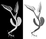 X-ray image of a sprouting bean (grayscale) by Jim Wehtje, specialist in x-ray art and design images.
