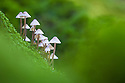 Toadstools {Mycena sp.} growing on decaying wood, Peak District National Park, Derbyshire, UK. October.