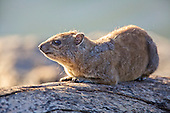 Catching the early morning sun is necessary for the Rock Hyrax, or commonly known in southern Africa as a Dassie. They have an incomplete thermoregulation so morning and evening are best times to observe. This is the ability to control body heat.