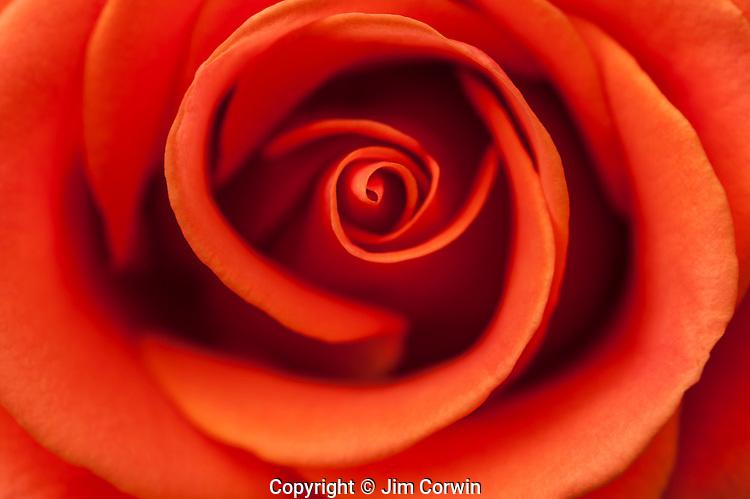 Warm light on pink rose close-up