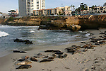 Harbor seals in La Jolla